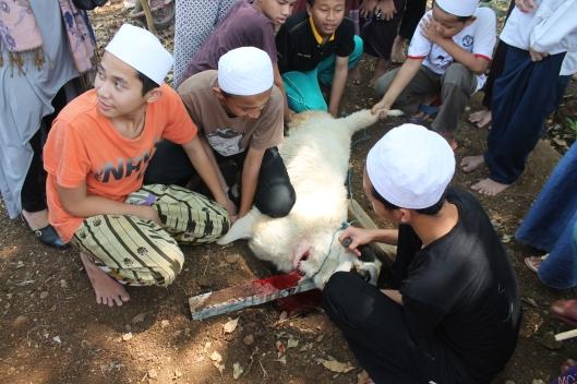 Bleeding Socrates out. (Eid-ul-Adha)
